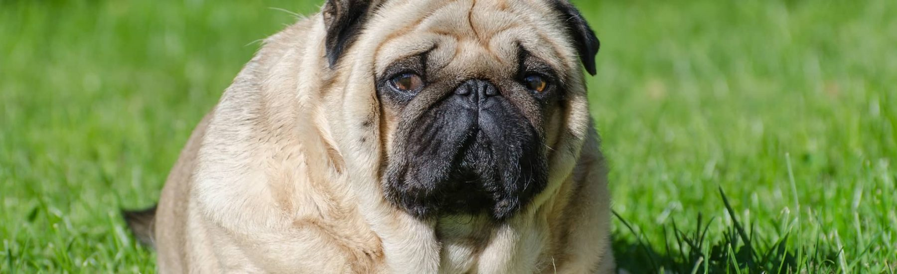 Overweight dog sitting on grass