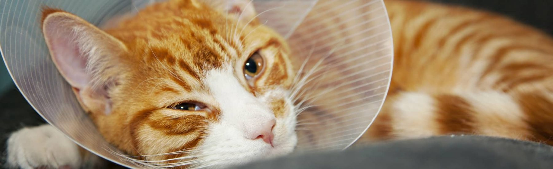 Ginger cat with a medical cone