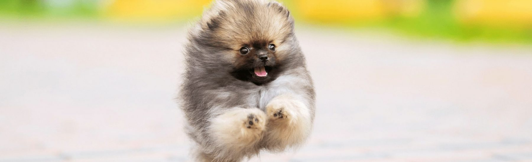 A Pomeranian dog running