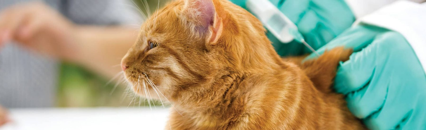 Ginger cat getting their vaccine shot