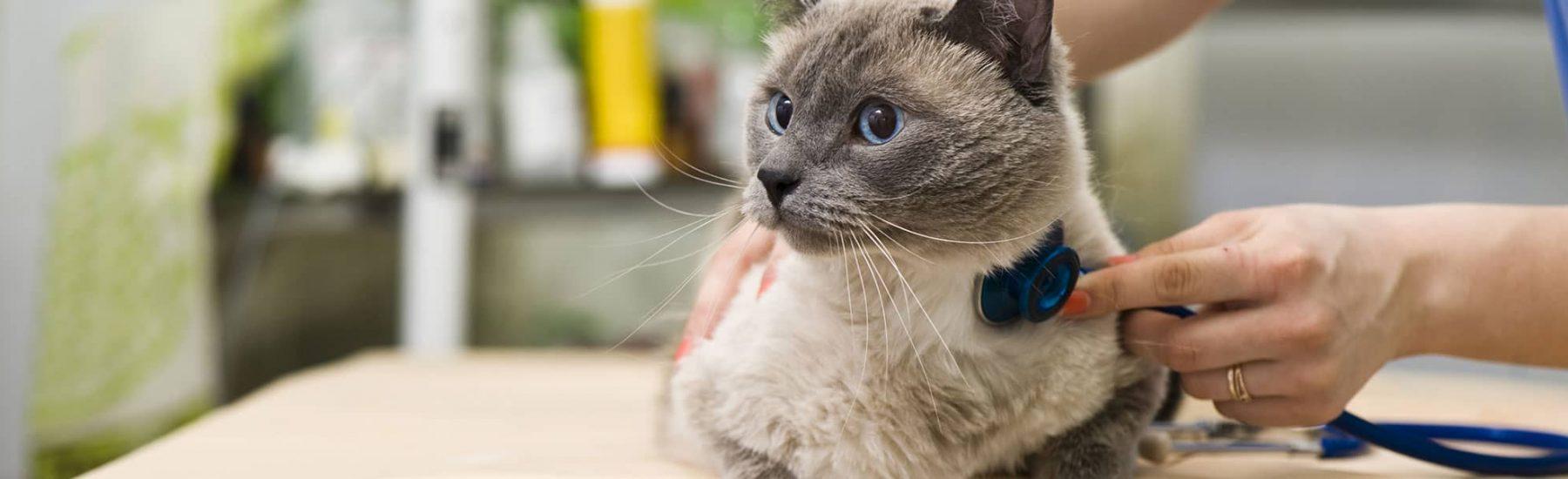Siamese cat at the vet