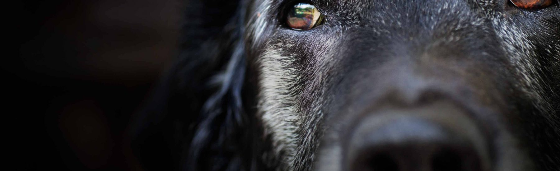 Close up of a black dog