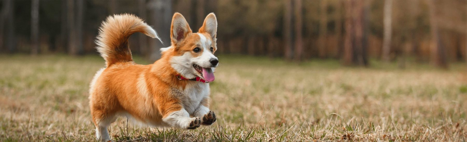 A Corgi dog running in an open field