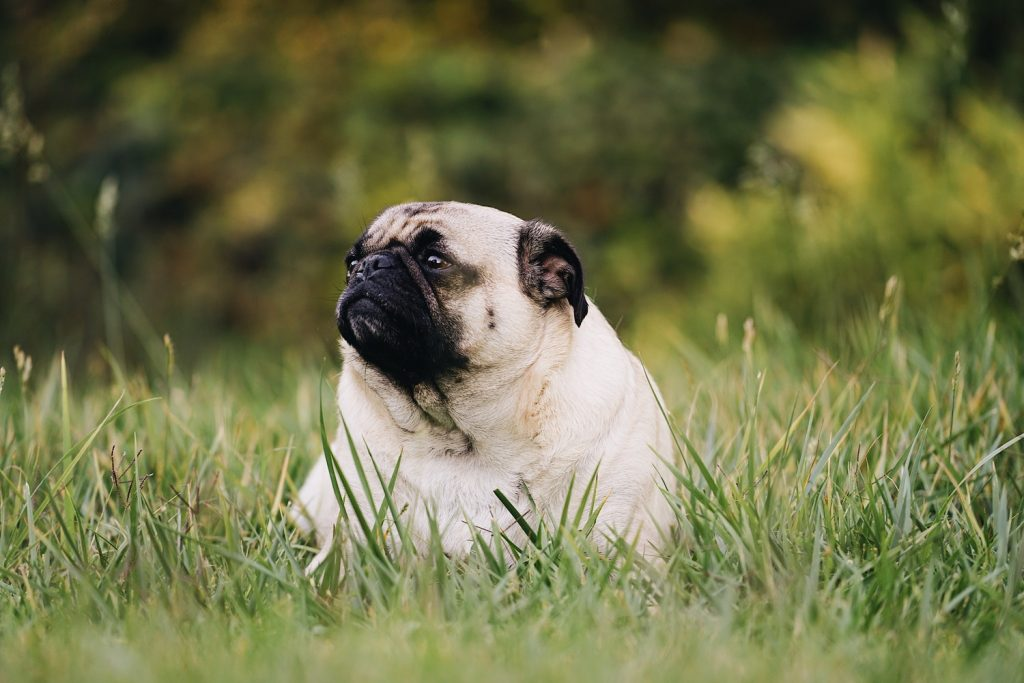 Overweight pug sitting on green grass