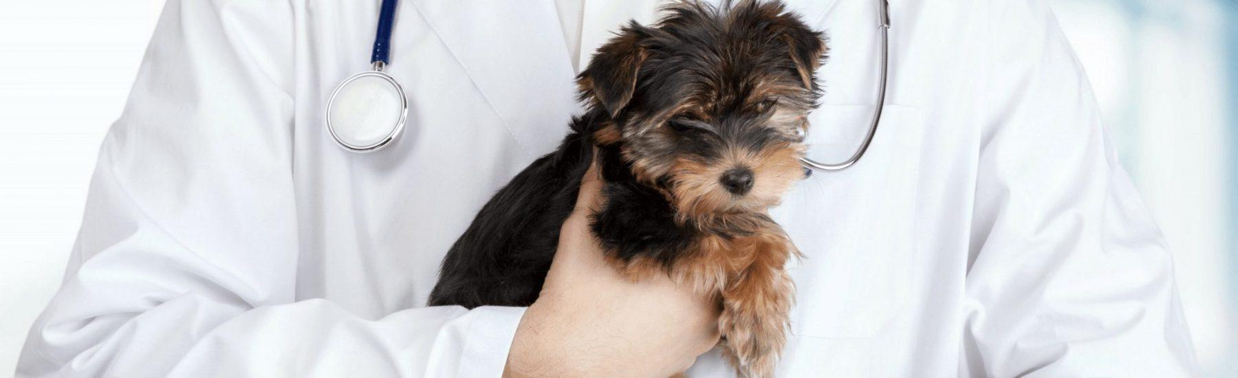 Cute puppy in a vet's hand